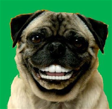 dogs with human teeth amelia s side of the room with human teeth on green background needs to be 6 5 x