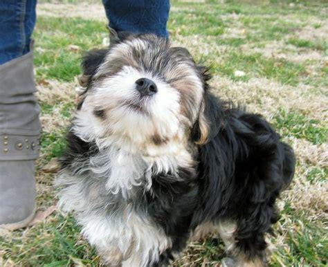 yochon puppies my yochon puppy vadoota funnnnnny or cuuuuuuuute