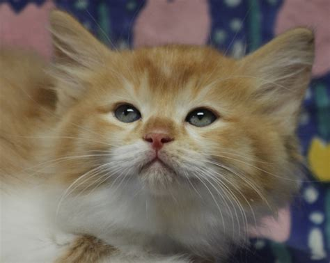 ragdoll orange orange ragdoll kittens www pixshark images