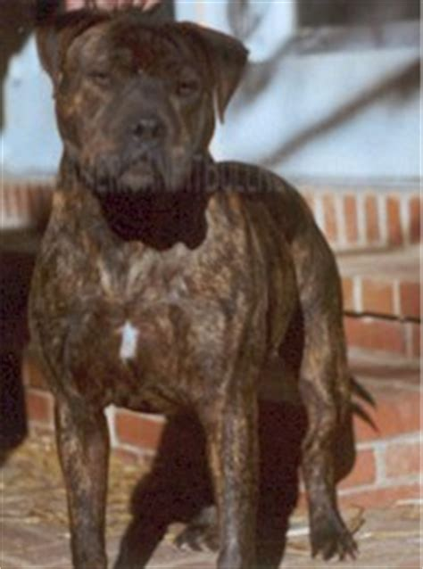 brindle rottweiler brindle pitbull rottweiler mix http www pic2fly brindle pitbull