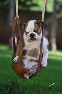 dog in baby swing english bulldog baggybulldogs
