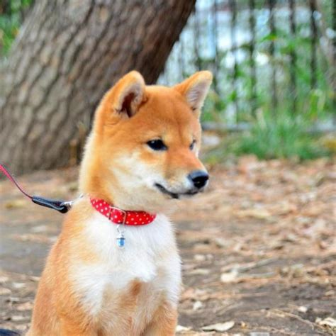 shedding of shiba inus animalwised