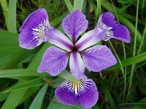 Imagenes De Flores Iris | im 225 genes de flores y plantas iris