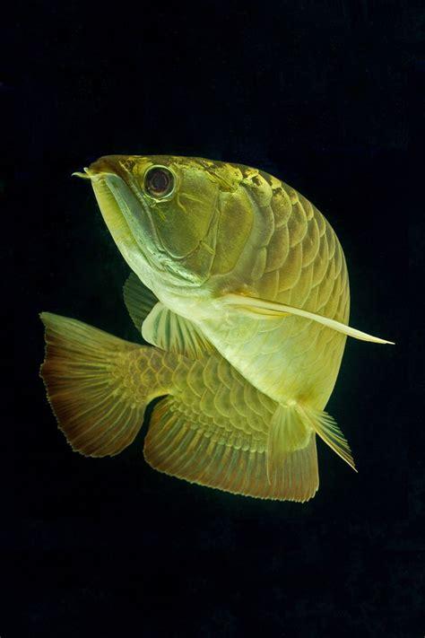 17 best images about arowana on pinterest gold platinum