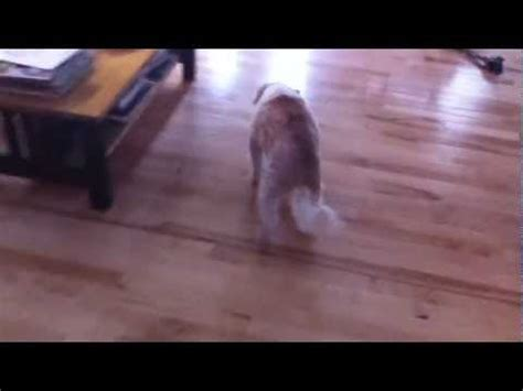 congestive failure late stages canine congestive failure