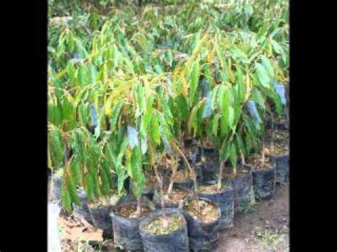 Jual Bibit Kakao Jember jual bibit durian di jember hub 08121605732