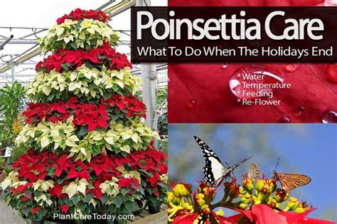 how to care for poinsettias what to do when the holidays end houseplants pinterest the