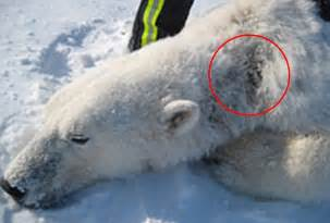 what color is a polar s skin polar bears with alopecia in arctic daily mail