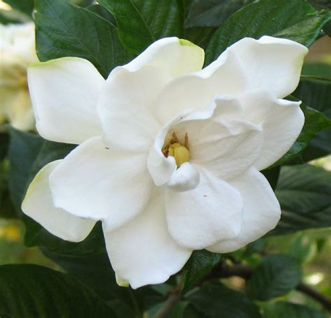 gardenias flower how to propagate gardenia starting gardenias from cuttings