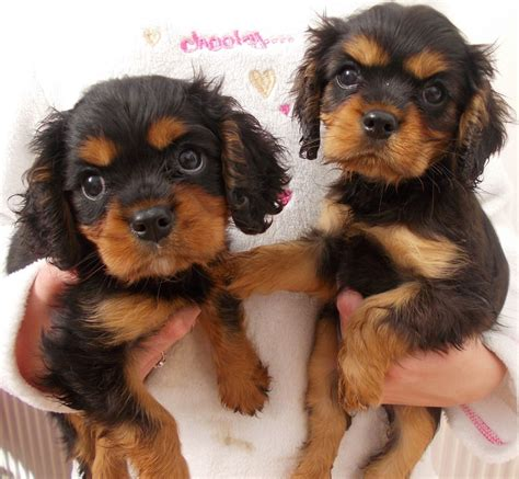 pet dogs and puppies for sale in walsall west midlands adverts cavalier king charles spaniel puppy walsall west