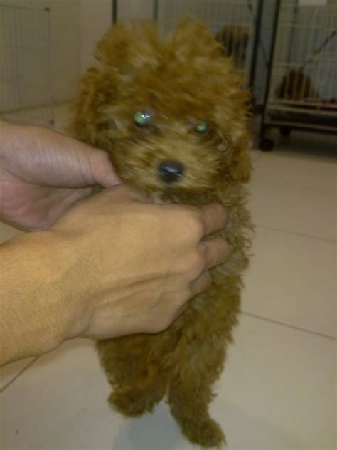 barbet puppies for sale american barbet puppy for sale puppies for sale dogs for sale breeders