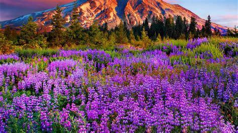 landscape purple mountain meadow  flowers pine trees