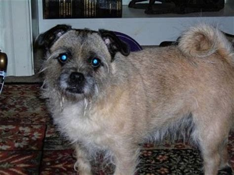 terrier pug cross cairn terrier cross pug