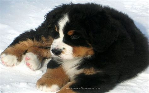 bernese mountain puppies for adoption bernese mountain puppies for adoption puppies puppy
