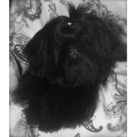 shih tzu stud near me imperial dogs puppies find dogs puppies breeders breeds picture