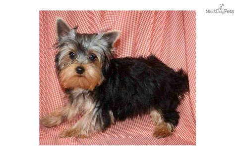 boy yorkie dogs terrier yorkie puppy for adoption near 0f0f7d25 77a2