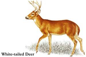 Whitetail deer clipart cliparthut free clipart