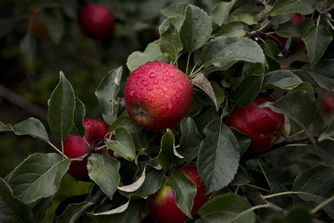 michigan fruit trees for sale this michigan orchard grows the best apples you ve never