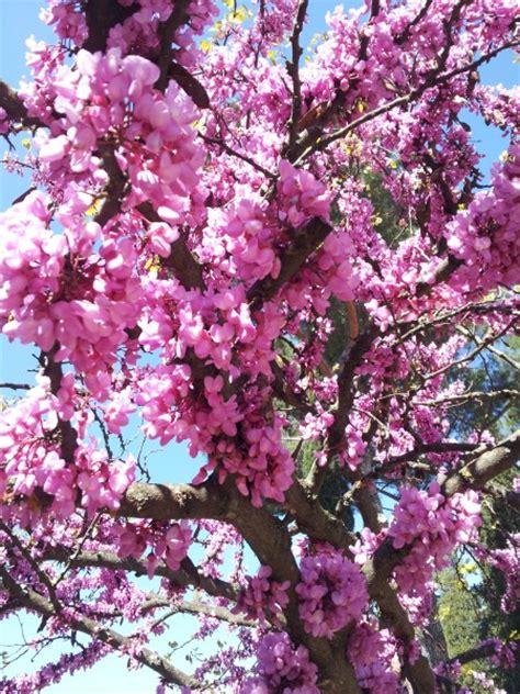 fiori albero di giuda albero di giuda siliquastro coltivazione