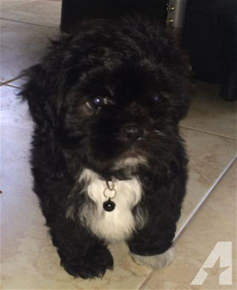 poodle and shih tzu mix for sale shih tzu poodle mix puppies for sale california breeds picture