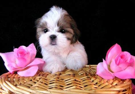 teacup shih tzu rescue maltese puppies for sale maltese puppies for adoption maltese puppies breeds picture