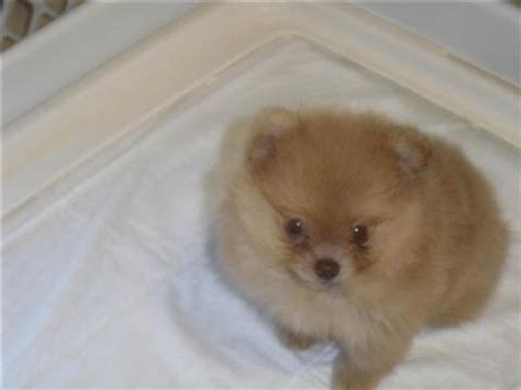 teacup pomeranian puppies for sale in wisconsin pomeranian puppies for sale in arkansas zoe fans baby animals