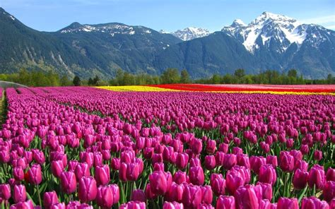 tulip field wallpaper beautiful tulip fields gallery wallpaper hd