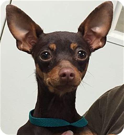 miniature pinscher puppies for adoption orlando fl miniature pinscher meet launa a for adoption