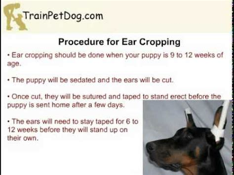 do yorkies get their ears cropped 1 funnydog tv