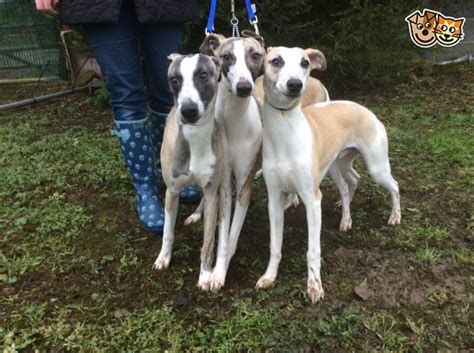 whippet for sale k c reg whippets for sale doncaster south pets4homes