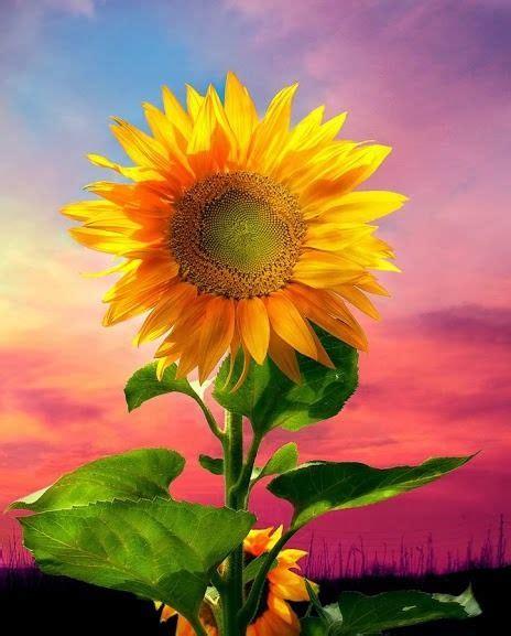 imagenes de flores de cempasúchil 17 mejores ideas sobre girasoles fondos de en pinterest