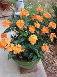 Tropical Perennial Plants - pinterest the world s catalog of ideas