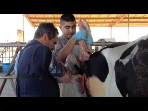 c section and milk production c section at maddox dairy youtube