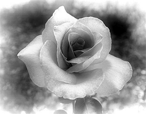 old black and white photography black and white rose