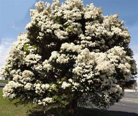 snow in summer melaleuca linariifolia 250 seed ebay
