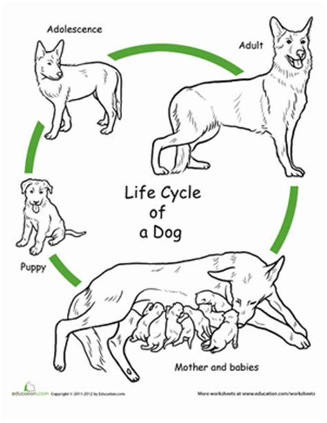 cycle of a puppy cycle stages for