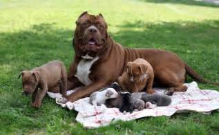 American pit bull terrier puppies 171 search results 171 black models