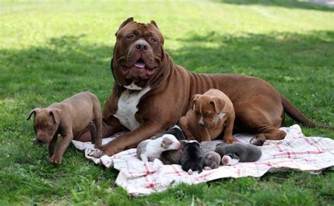 american bull terrier puppies american pit bull terrier puppies breeders pit bull terriers breeds picture