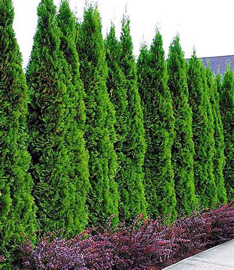 koniferenarten garten lebensbaum hecke thuja smaragd 1a pflanzen baldur garten
