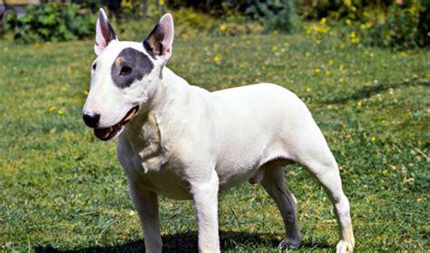 bull terrier bull terrier the eye of the tiger bull terrier breed information