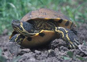 file yellow bellied slider 2 jpg