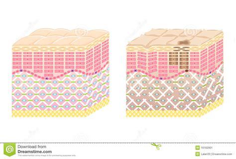 transverse section of skin skin cross section stock image image 16162901