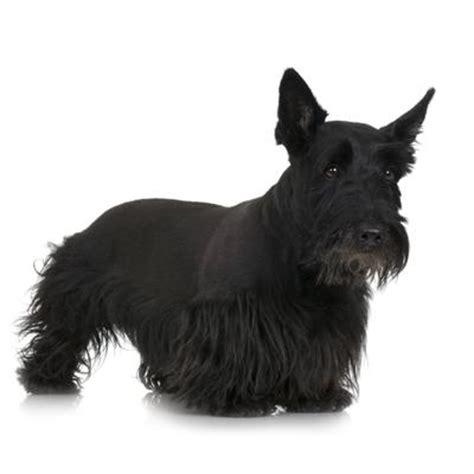 how to cut scottish terriers hair skotsk terrier alt om den trofaste hund