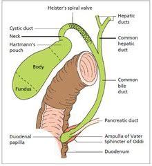 fundus of gallbladder gross ii liver gall bladder pancreas spleen