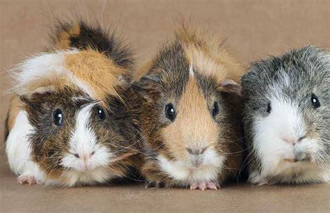 meerschweinchen und kaninchen in einem stall kaninchen und meerschweinchen im au 223 engehege tiierisch