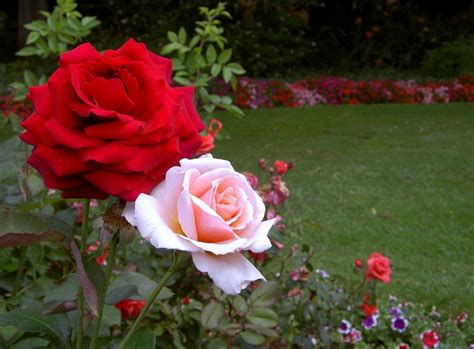 wallpaper flower garden rose rose flower garden flower hd wallpapers images