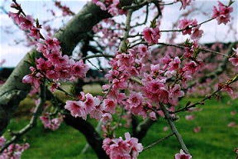 Manisan Buah Persik By Sandyptk manfaat buah persik