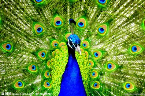 desktop nature wallpaper indian blue peacock free 孔雀摄影图 鸟类 生物世界 摄影图库 昵图网nipic com