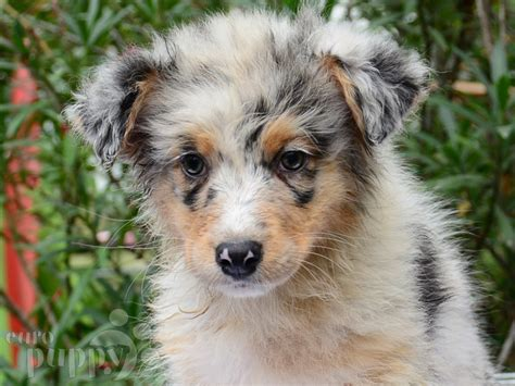 australian shepherd puppy for sale achieva australian shepherd puppy for sale puppy