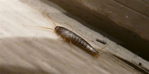 rid  home  silverfish silverfish repellent guide